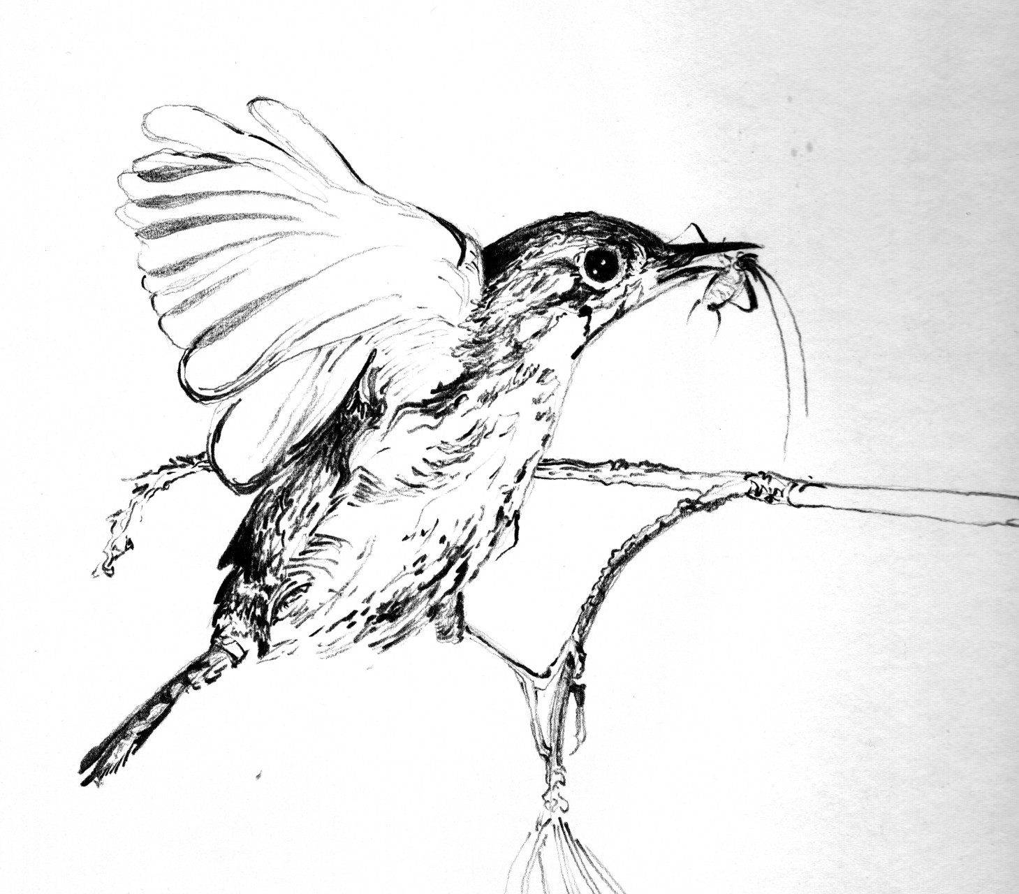 Wren – pen & ink on illustration board